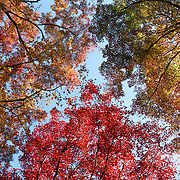 Rainbow of multicolored momiji Japanese maple leaves. Photographed in autumn at Kuma-dera in north Kyoto, Japan.