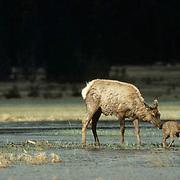 Elk, (Cervus elaphus) Cow and calf crossing stream.
