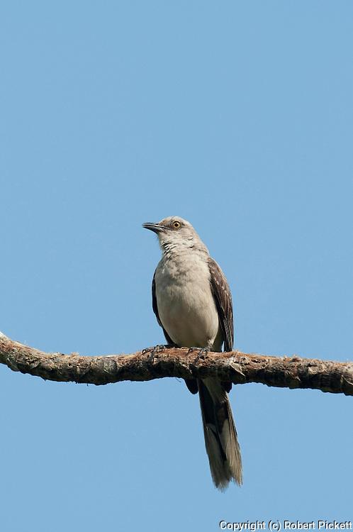 Northern Mockingbird, Mimus polyglottos, Panama, Central America, Gamboa Reserve, Parque Nacional Soberania, perched on branch, blue sky background