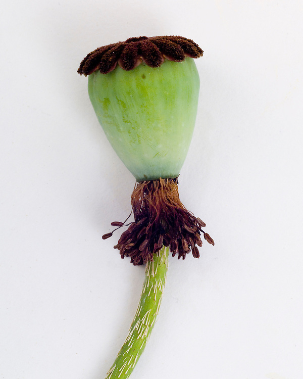 Poppy Pop, seed pod, see also cross-section showing ovary and seeds