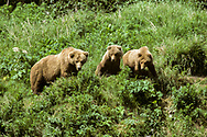 Alaskan brown bear with second-year cubs on green hillside, all looking down, McNeil River State Game Sanctuary, Alaska, © David A. Ponton