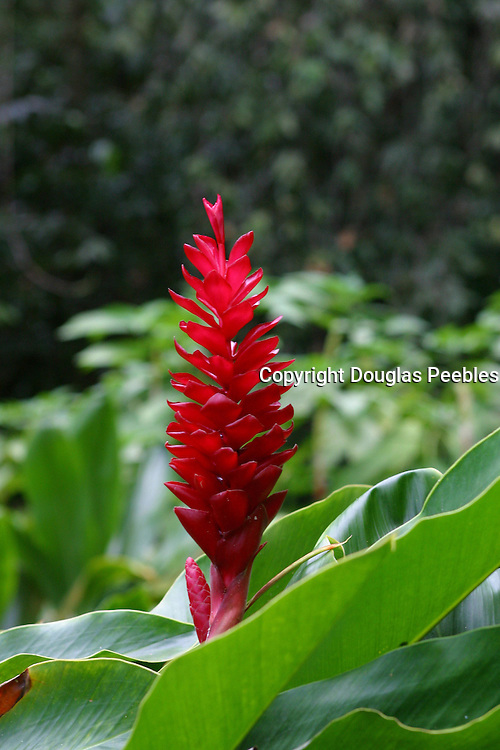 Maraa Fern Grotto, Red Ginger, Island of Tahiti, French Polynesia<br />