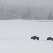 American bison (Bison bison)  in a snowstorm. Yellowstone National Park