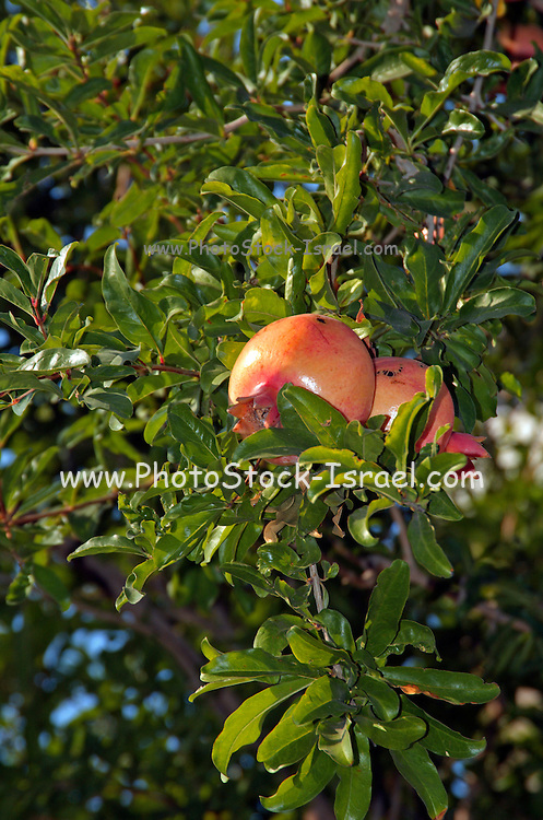 Red fruit of a pomegranate tree. In many cultures, the pomegranate is a symbol of prosperity and fertility, in the Jewish culture it is one of the symbols of the New Year
