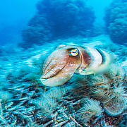 A common cuttlefish (Sepia officinalis) in Palau