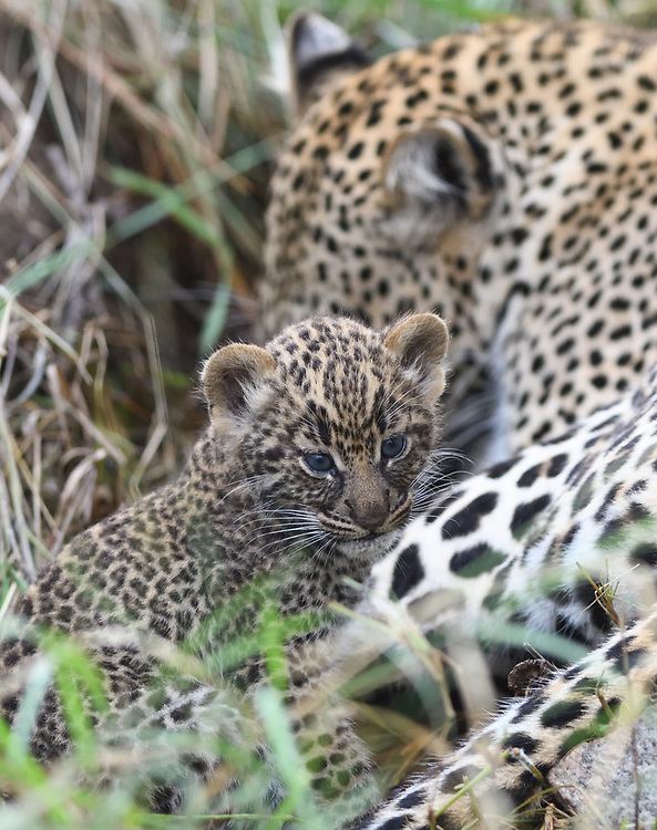 A very young leopard (Panthera pardus) cub, its eyes still blue,  with its mother outside their den. Serengeti National Park, Tanzania.
