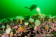 diver swims over a slope covered with white-plumed anemones or giant plumose anemones, Metridium farcimen, sea urchins, sea stars, sea anemones, and encrusting algae at Baie des Anglais, off Baie Comeau, Quebec, Canada, St. Lawrence River estuary