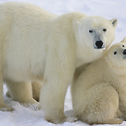 Polar Bear (Ursus maritimus) mother and cub. Churchill, Manitoba, Canada