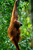Adult female Bornean Orangutan (Pongo pygmaeus) hanging on a liana (woody vine) in the rain forest of Borneo.  Gunung Palung National Park, West Kalimantan, Indonesia.