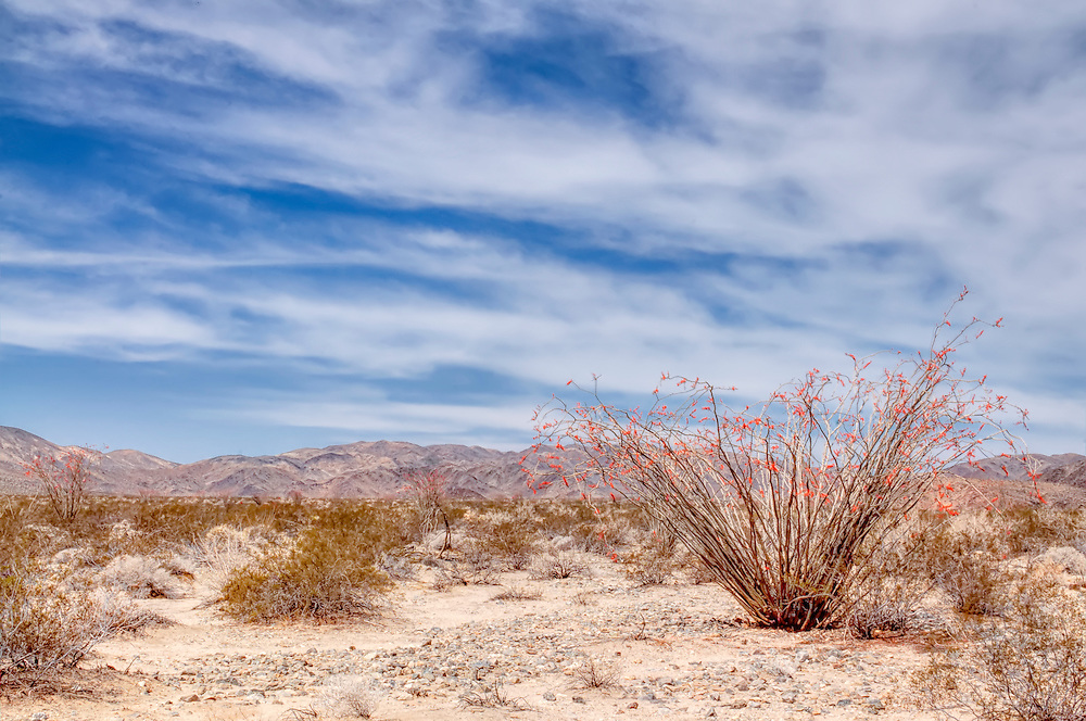 A view of the Mojave Desert in Southern California, looking westward towards the Hexie Mountains with a tall cactus-like ocotillo in full bloom in the foreground.
