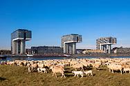 Europa, Deutschland, Koeln, Schafe auf den Rheinwiesen in Deutz, die Kranhaeuser im Rheinauhafen.<br /> <br /> Europe, Germany, Cologne, sheep on the river Rhine meadows in the district Deutz, the Crane Houses in the Rheinau harbor.