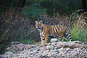 Wild Bengal tiger walking through the forest, Ranthambore National Park, Rajasthan, India