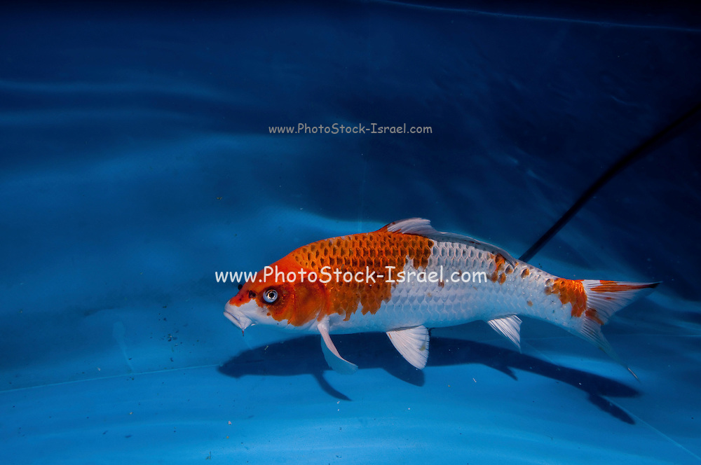 """Red and white Gosanke variety Koi (Japanese: literally """"brocaded carp""""), are ornamental domesticated varieties of the common carp (Cyprinus carpio) that are kept for decorative purposes in outdoor koi ponds or water gardens. Koi are among the longest-living vertebrates, with some animals living over 200 years. Koi varieties are distinguished by colour, patterns, and scales. The most popular category of koi is the Gosanke, which is made up of the Kohaku, Taisho Sanshoku, and Showa Sanshoku varieties.Photographed at the handpick pools at Kibbutz Maagan Michael aquaculture breeding farm, Israel"""