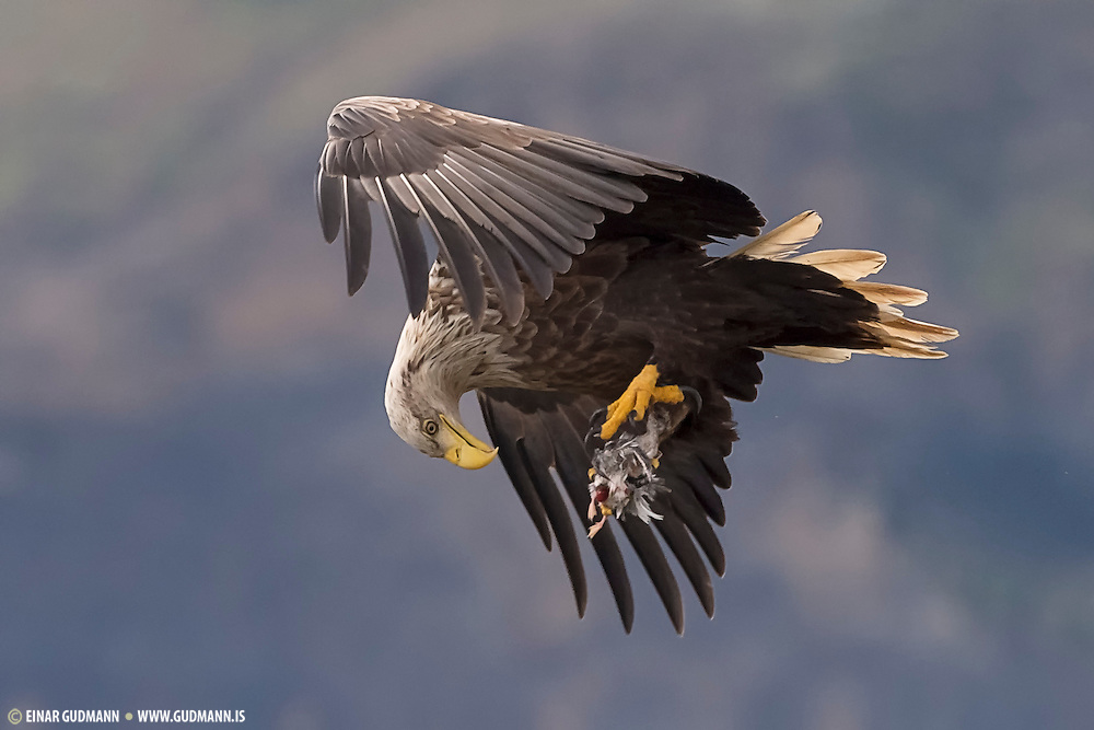The White-tailed Eagle (Haliaeetus albicilla), also known as the Sea Eagle, Erne (sometimes Ern), or White-tailed Sea-eagle, is a large bird of prey in the family Accipitridae  which includes other raptors such as hawks, kites, and harriers. It is considered a close cousin of the Bald Eagle and occupies the same ecological niche, but in Eurasia.