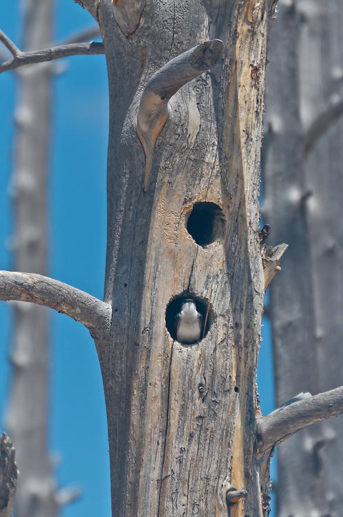 Tree Swallow (Tachycineta bicolor), at Lower Geyser Basin in Yellowstone National Park, Wyoming.  Photo by William Byrne Drumm.