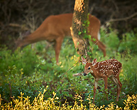 New Neighbor - Fawn with Spots and Doe in the Background. Image taken with a Nikon D3x camera and 600 mm f/4 VR lens (ISO 1400, 600 mm, f/4, 1/640 sec).