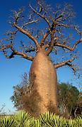 Grandidier's Baobab Trees, Adansonia grandidieri, Southern Madagascar, Endenmic, Endangered, IUCN List