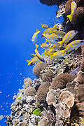bluestripe snapper (lutjanus kasmira) over pachyseris foliosa coral on tropical coral reef - Agincourt reef, Great Barrier Reef, Queensland, Australia. <br />
