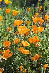 Flowers in a field,
