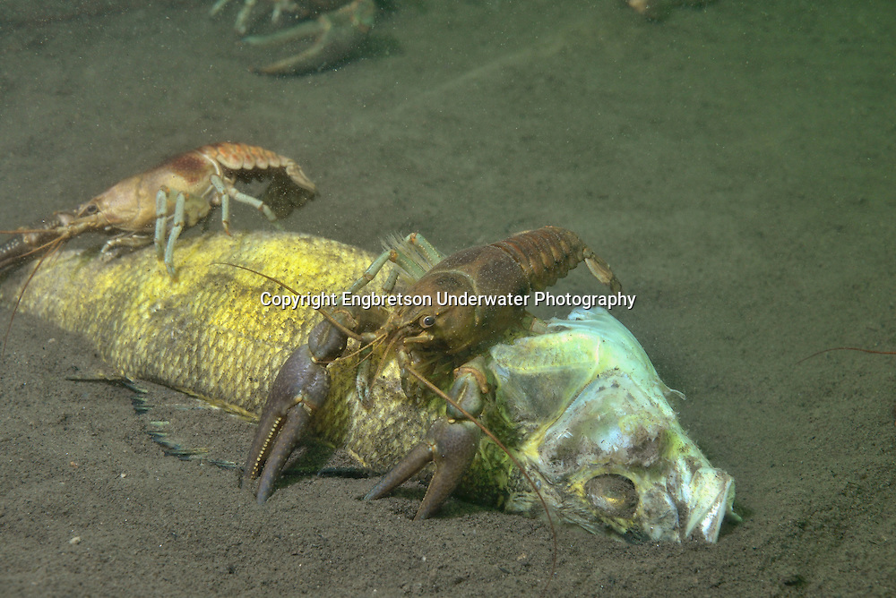 Rusty Crayfish (eating a dead yellow perch)<br /> <br /> Engbretson Underwater Photography