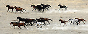 A herd of wild horses run on the open range of the Yakama Indian Nation near Toppenish. (Alan Berner / The Seattle Times)