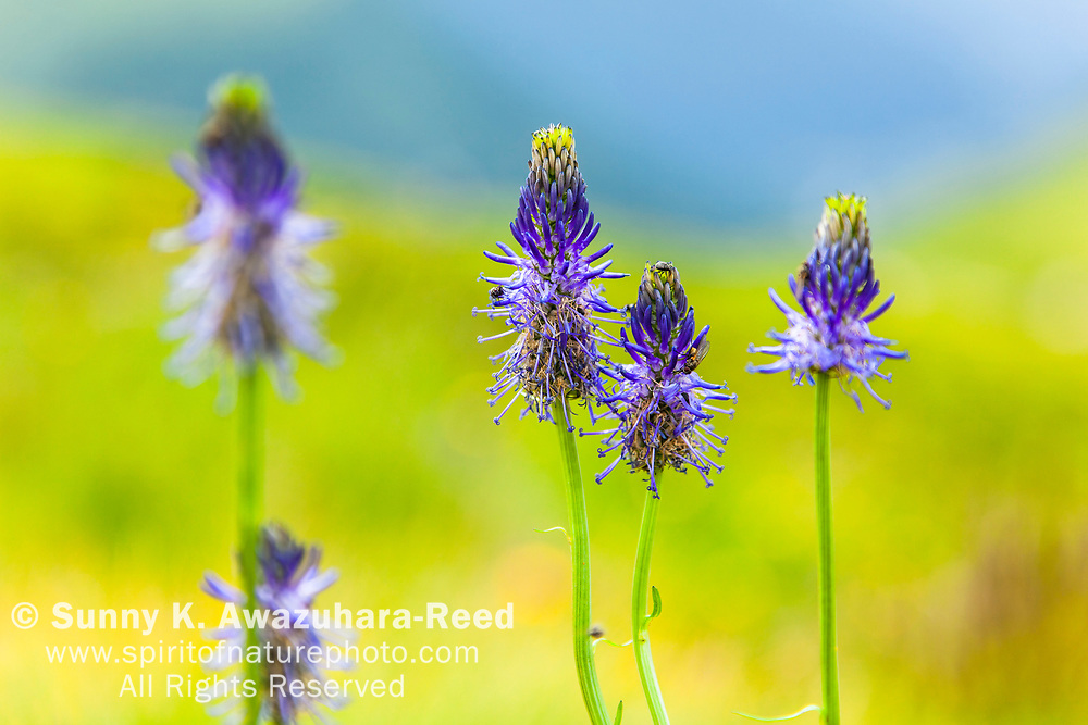 Close up of Blue Spiked Rampion flowers, Alps, France, Europe, Summer.