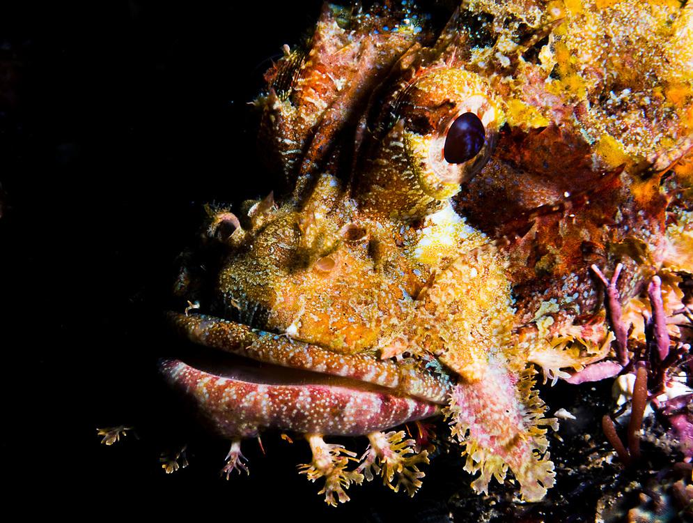 Portrait of a tassled scorpionfish (Scorpaenopis oxycephala) face. Image made off Anilao, Philippines.