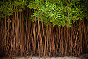 A forest of trees in the sand right off the beach in the Dominican Republic.