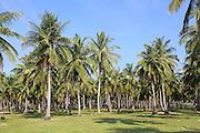 Coconut tree plantation, Pasikudah Bay, Eastern Province, Sri Lanka, Asia