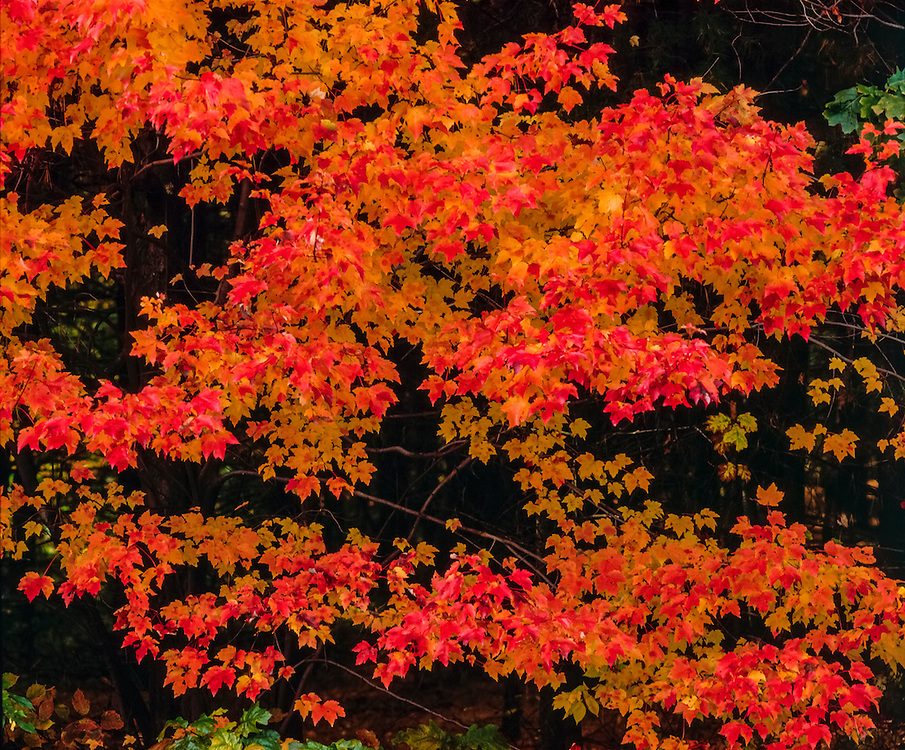 Patterns of Sugar Maple leaves in red & orange fall colors, Amherst, NH