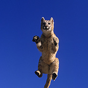 A young Mountain Lion (Felis concolor) cub in an airborne jump. Captive Animal