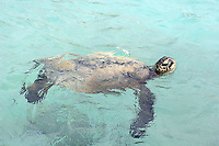 Skilpadde, Pasific green turtle, Hawaiian green sea turtle, Hawaiian name: Honu, Chelonia mydas agassizii