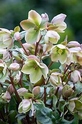 Helleborus x ericsmithii 'Ivory Prince'