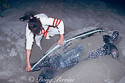 biologist measures carapace length of nesting leatherback sea turtle, Dermochelys coriacea, Mexiquillo Beach, Mexico ( Eastern Pacific )