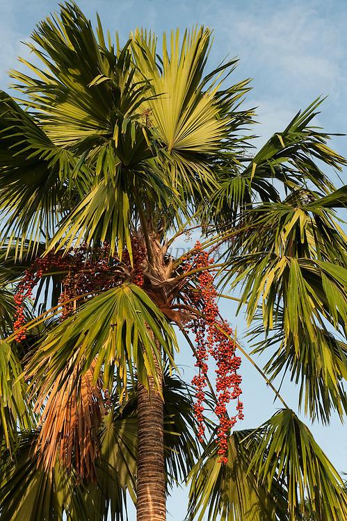 Mauritia Palm (Mauritia flexuosa)<br /> Rupununi<br /> GUYANA<br /> South America<br /> INDIGENOUS TO GUIANAS