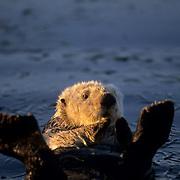 Sea Otter, (Enhydra lutris) California.