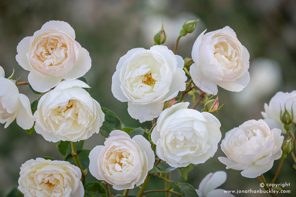 Rosa 'Desdemona' syn. Auskindling