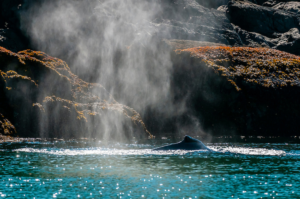 A humpback whale spouting in the Lynn Canal (2000 feet deep/610 meters deep), the deepest fjord in North America, near Juneau, Alaska USA.