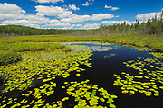 Wetland of American white waterlily (Nympahea odoroata) in boreal forest<br />