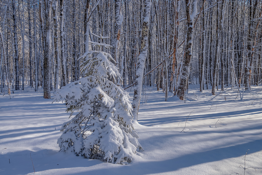 Fresh snow covers spruce sapling & tree trunks in winter forest, Bridgewater, NH