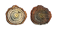 tiger's eye<br /> Coltricia perennis