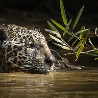 Panthera onca