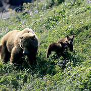 Alaskan Brown Bear, (Ursus middendorffi) Mother with two cubs of the year on wildflower hillside. Katmai National Park. Alaska. June. Late Spring.
