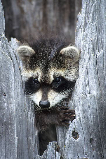 Raccoon, (Procyon lotor) Young coon in hollow tree. Spring. Montana.  Captive Animal.