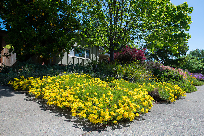 A home garden in the South Land Park area of Sacramento, California, features yellow evening primroses, during the Sacramento Valley Native Plant Garden Tour. Photo taken April 27, 2019.  Florence Low / California Department of Water Resources, FOR EDITORIAL USE ONLY