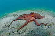Atlantic Long Arm Octopus, Octopus defilippi,  crawls along the bottom of the Lake Worth Lagoon, Singer Island, Florida.