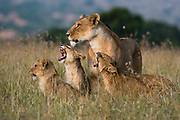 A lioness, Panthera leo,  greeted by the her cubs upon her return, Masai Mara, Kenya.
