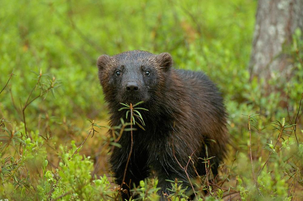 Wolverine (Gulo gulo), Kuhmo, Finland
