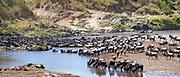 Wildebeests crossing Mara River, Kenya in August 2014.
