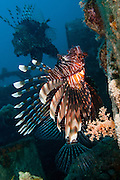 Common Lionfish or devil firefish (Pterois miles). This species is endemic to the Red Sea. It has bright warning colours and its spines are highly venomous and fatal to humans.  photographed in the Red Sea, Eilat, Israel